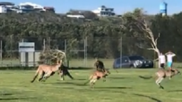 Mob Of Kangaroos Takes Over Soccer Game