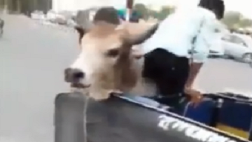 Bulls Fight In Busy Street; One Gets Stuck In Vehicle