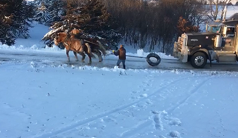 Horses Pull Semi Up Driveway In Southern Minnesota