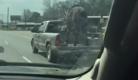 Horse Riding In The Bed Of A Pick-Up