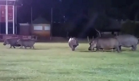 Hippos Graze On Rugby Field