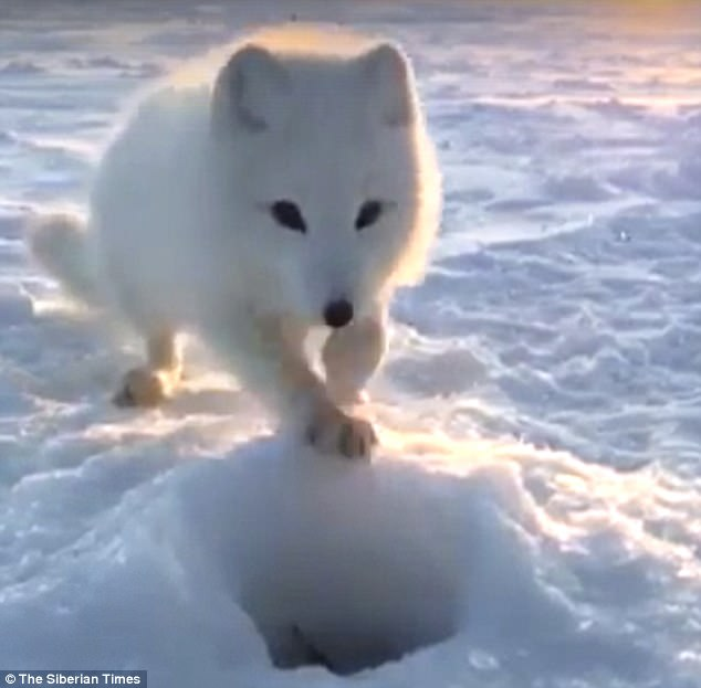 An Arctic Fox Plays The Cute Card and Wins……