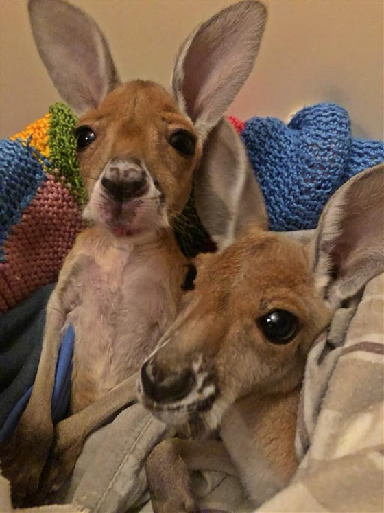 Baby Kangaroo Hops for the First Time……We are ALL DYING!