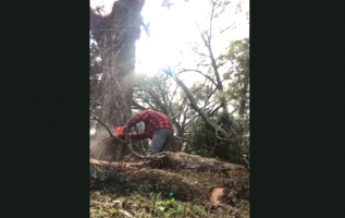 VIDEO: Lumberjack Gets Hit in Crotch with Stray Branch
