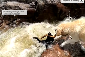 Watch: A Dog Saves Another Dog in White Water Rapids