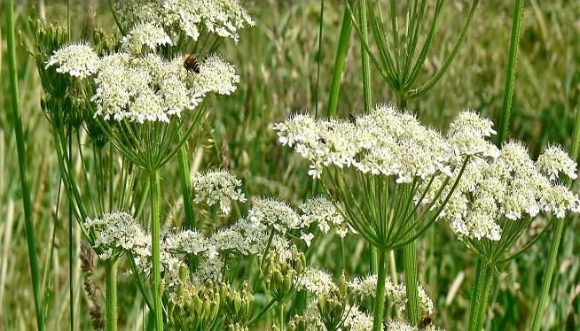 Plant That Can Cause Burns and Blindness Makes First Confirmed Sighting in Virginia