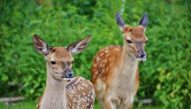 It's Deer Mating Season.  Fun For Them. Costly For You!