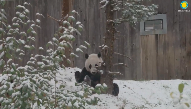 WATCH: National Zoo Shares Video of Bei Bei the Giant Panda Enjoying First Snow Day of the Season