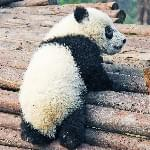 A compilation of pandas being clumsy? YES, PLEASE!