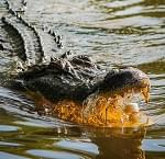 In Texas, when a gator eats your horse, you eat the gator!