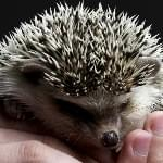 Any hedgehog fans out there? D.C. might soon let you keep on as a prickly pet!