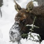 Snowboarding? Fun. Getting chased by a moose? Not fun.