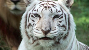 North Texas sanctuary gets 2 white tigers housed illegally