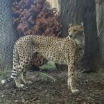 Cops save the day looking for a lost cheetah? Yep!