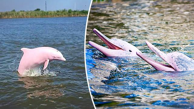 A SECOND Pink Dolphin Has Been Found In Louisiana!