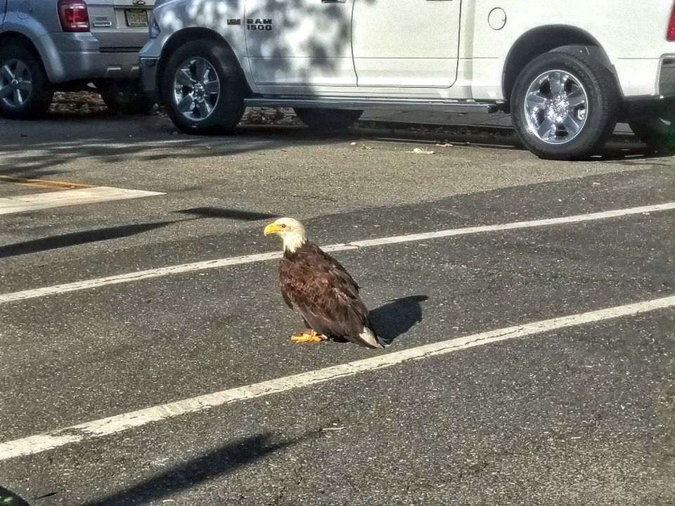 It Has Taken A While For Bald Eagles To Once Again Call New York Harbor Home Curly There Are Only Two Identified Nesting Sites