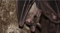 Holy Vaccinations, Commissioner…They Found a Rabid Bat in Boise County!