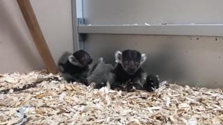 CUTE ANIMAL ALERT!  Watch These Baby Lemurs At This Florida Zoo!!