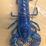 WHOA!  A Rare Blue Lobster Was Found In Cape Cod!