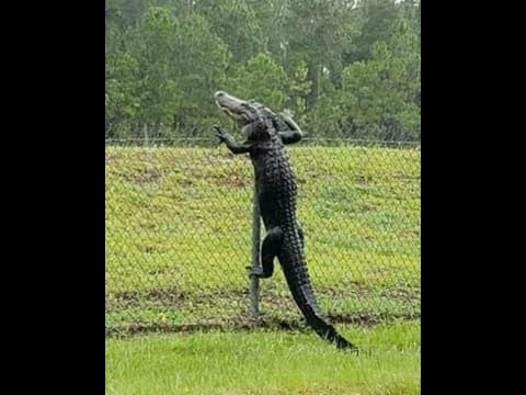 WATCH: This Alligator Climbing A Fence!!!