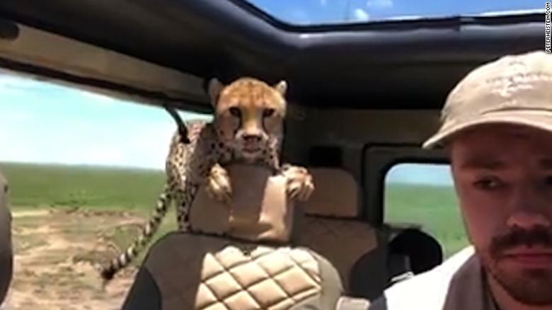 Watch cheetah hop in car during safari