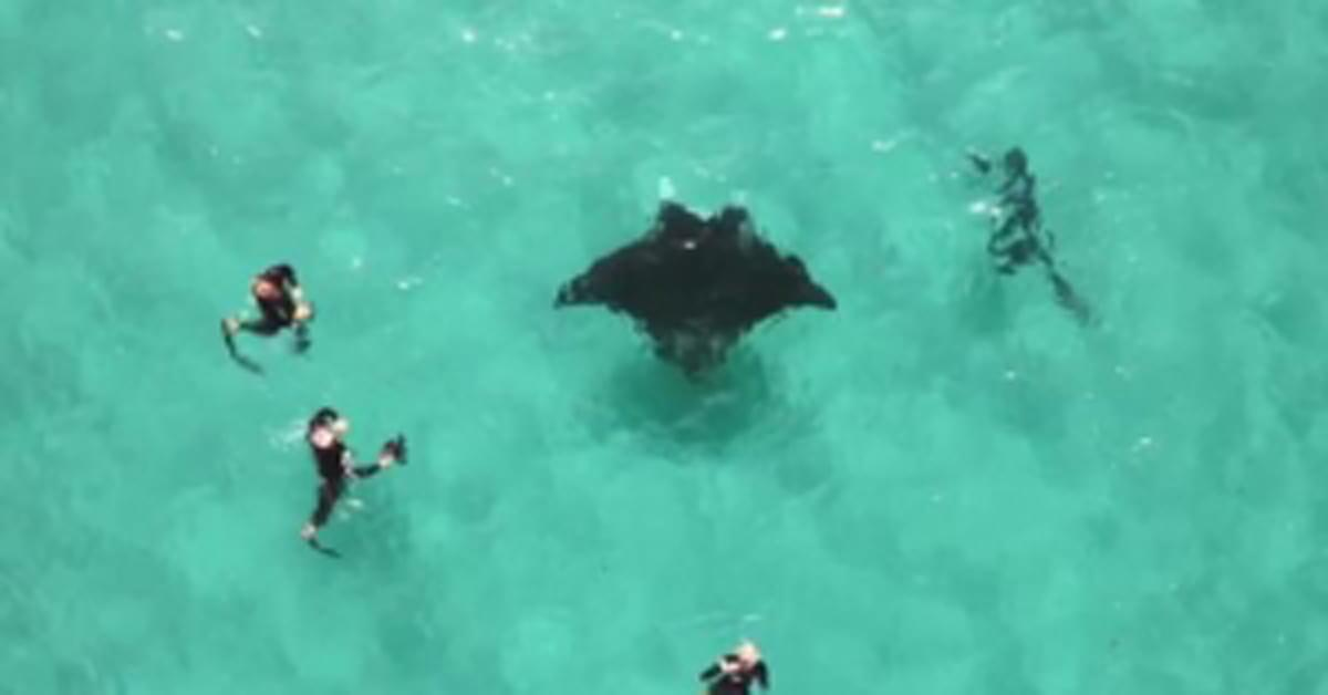 Watch as an injured manta ray turns to divers for help