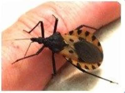 Kissing Bug Tests Positive For Parasite That Causes Chagas Disease