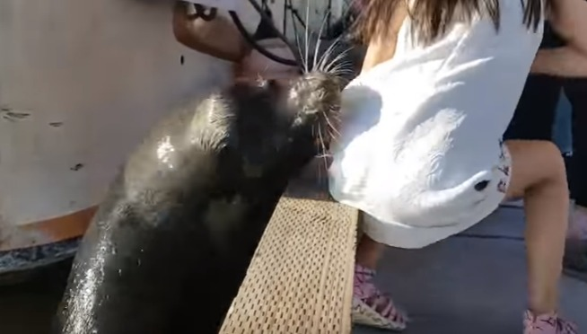 Watch Sea Lion Pull Little Girl into Water ( Rescued )