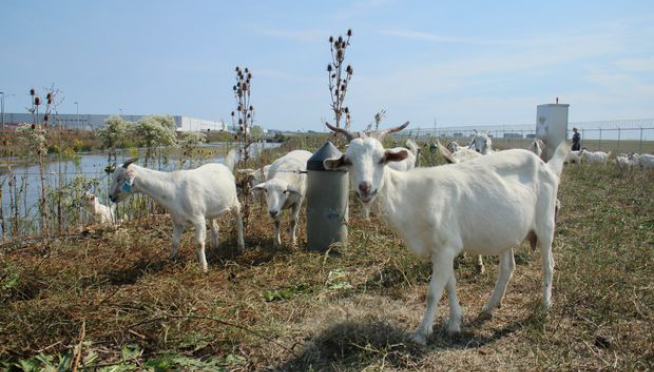 Who Takes Care Of The Grass At O'Hare?  Goats, That's Who