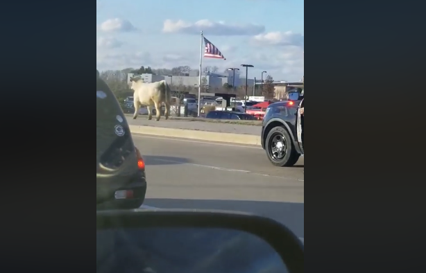 Real or promo? Cow on the loose runs to Chick-Fil-A