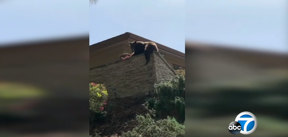 Nothing out of the normal, just a bear chillin' and eating some Twizzlers