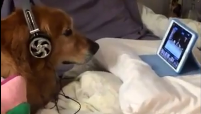 Dog wears headphones and watches videos to calm down from fireworks