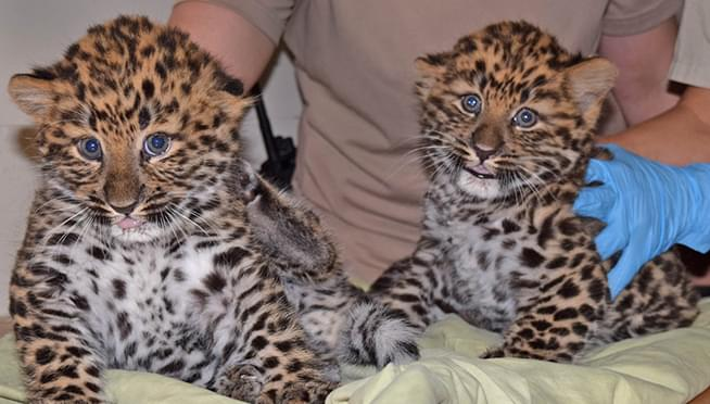 Leopards cub siblings born in Brookfield Zoo