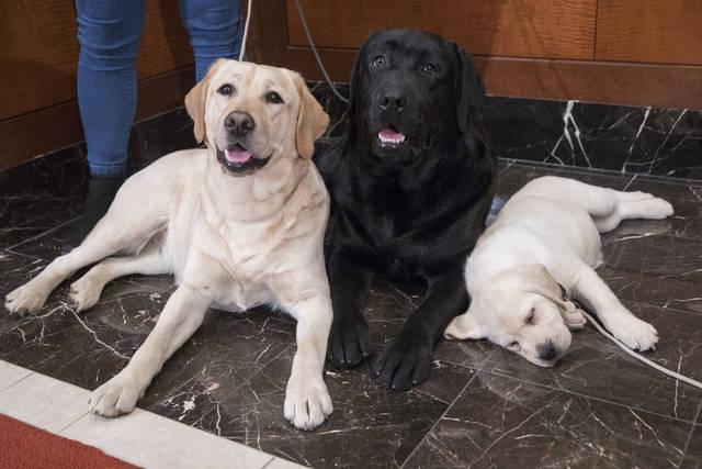 Labrador Retriever most popular us dog breed for 28th year