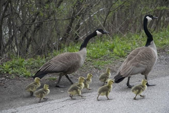 Cops Searching For Driver Who Killed 19 Geese In Mundelein!
