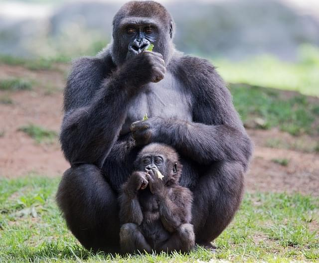 Lincoln Park Zoo welcomes ANOTHER baby gorilla