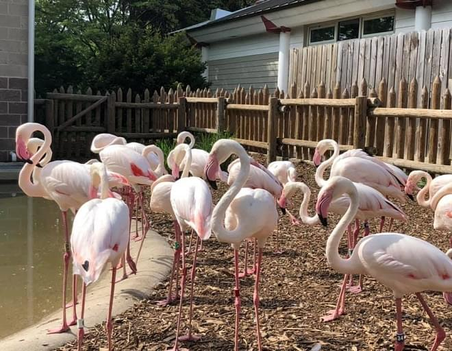 Jay Tetzloff of the Miller Park Zoo fills us in on the Flamingo