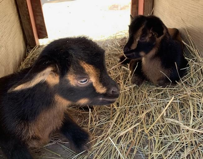 See The New Baby San Clemente Goats At The Miller Park Zoo