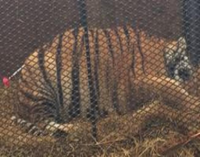Man Breaks Into Home…Finds Tiger