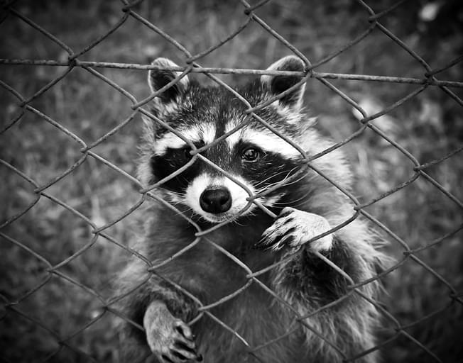 "Police Warn of ""Zombie Raccoons"" in Illinois"