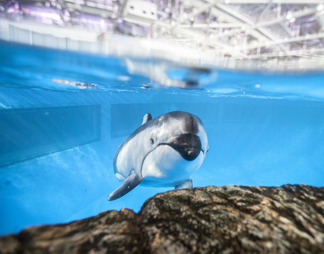 A Pacific White-Sided Dolphin at Shedd Aquarium is Pregnant