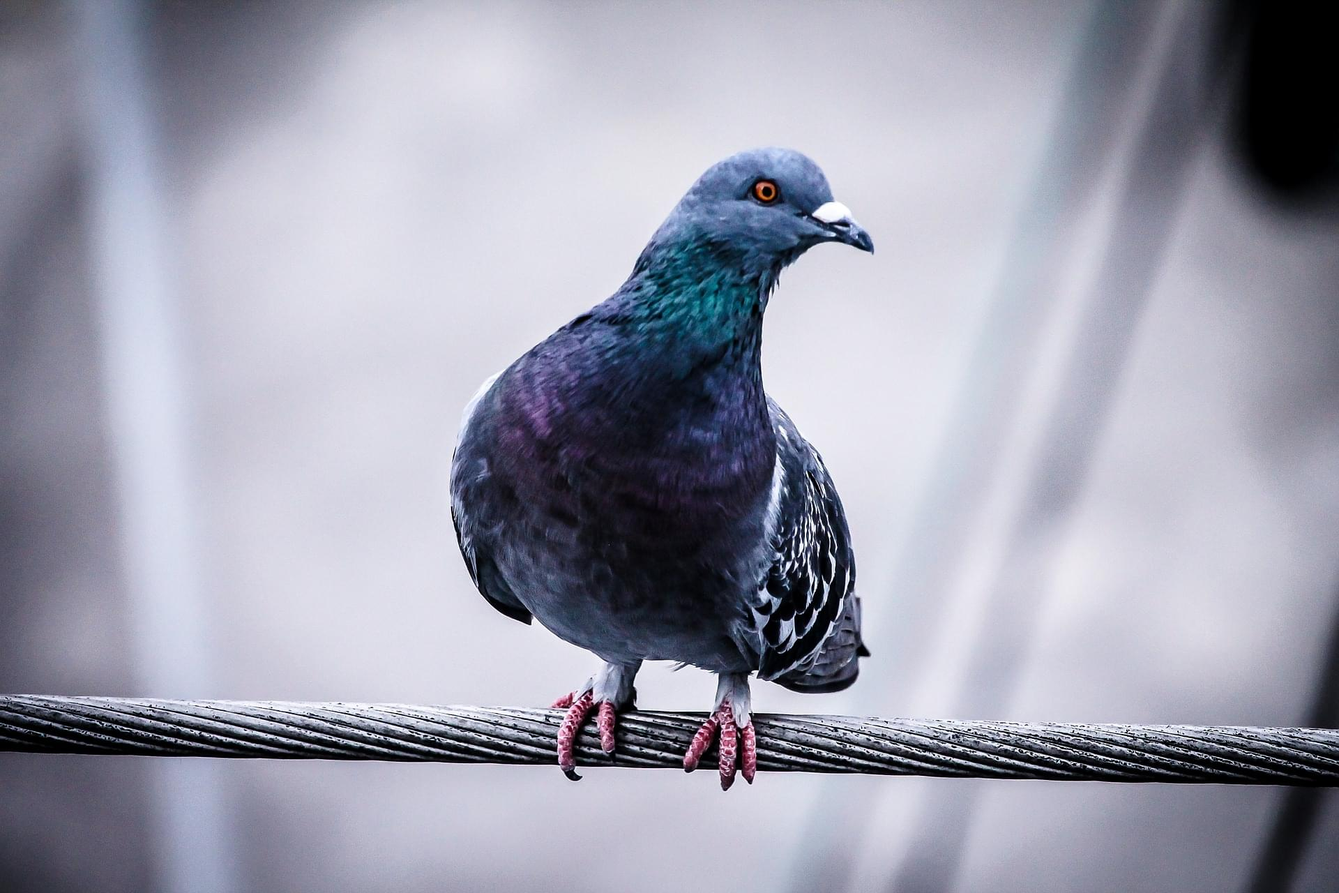 "Pigeon Called ""One Of The Best Ever"" Sold At Auction For Over $1 Million [Photo]"