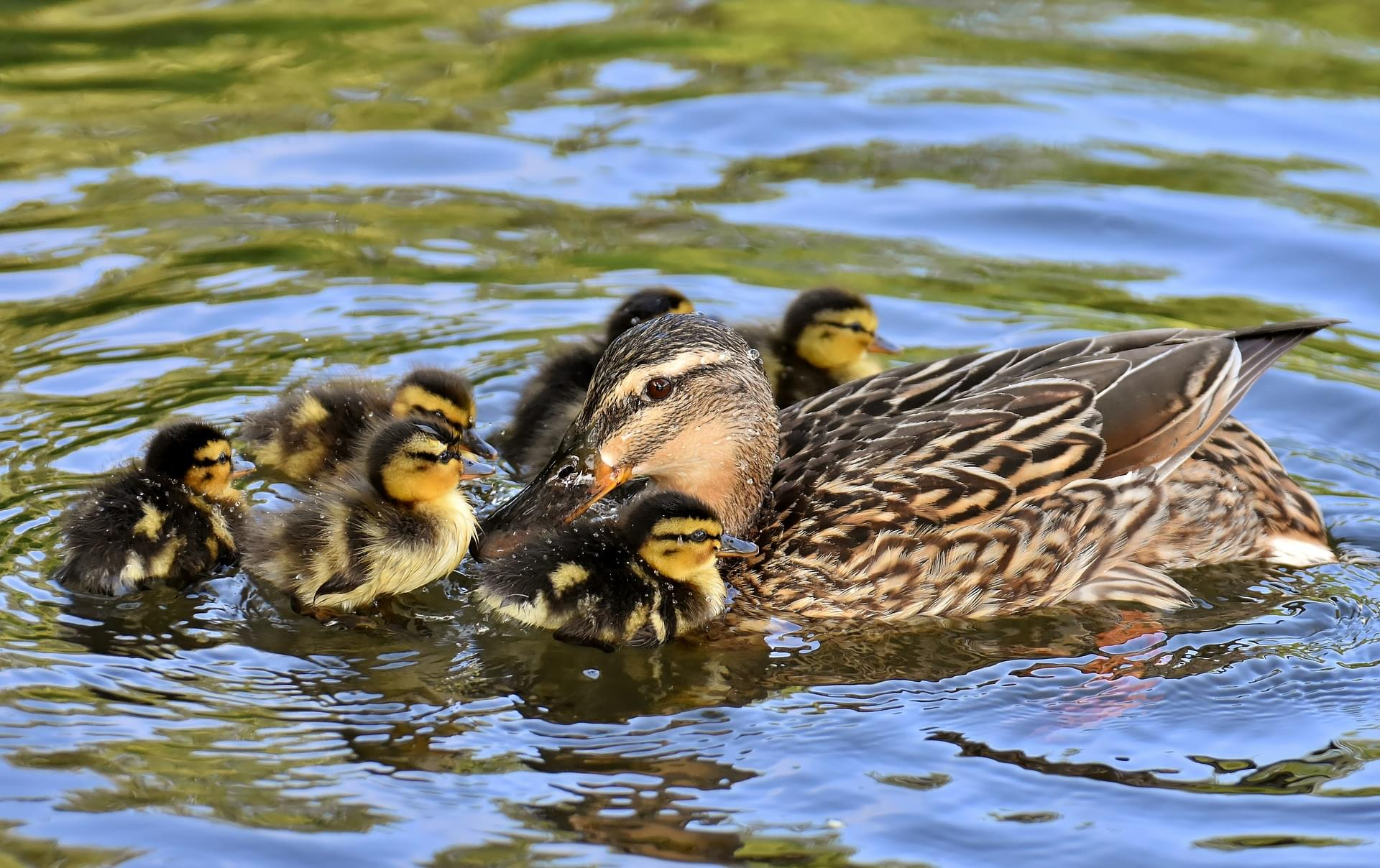 Indianapolis Firefighters And Animal Control Rescue Ducklings From Storm Drain