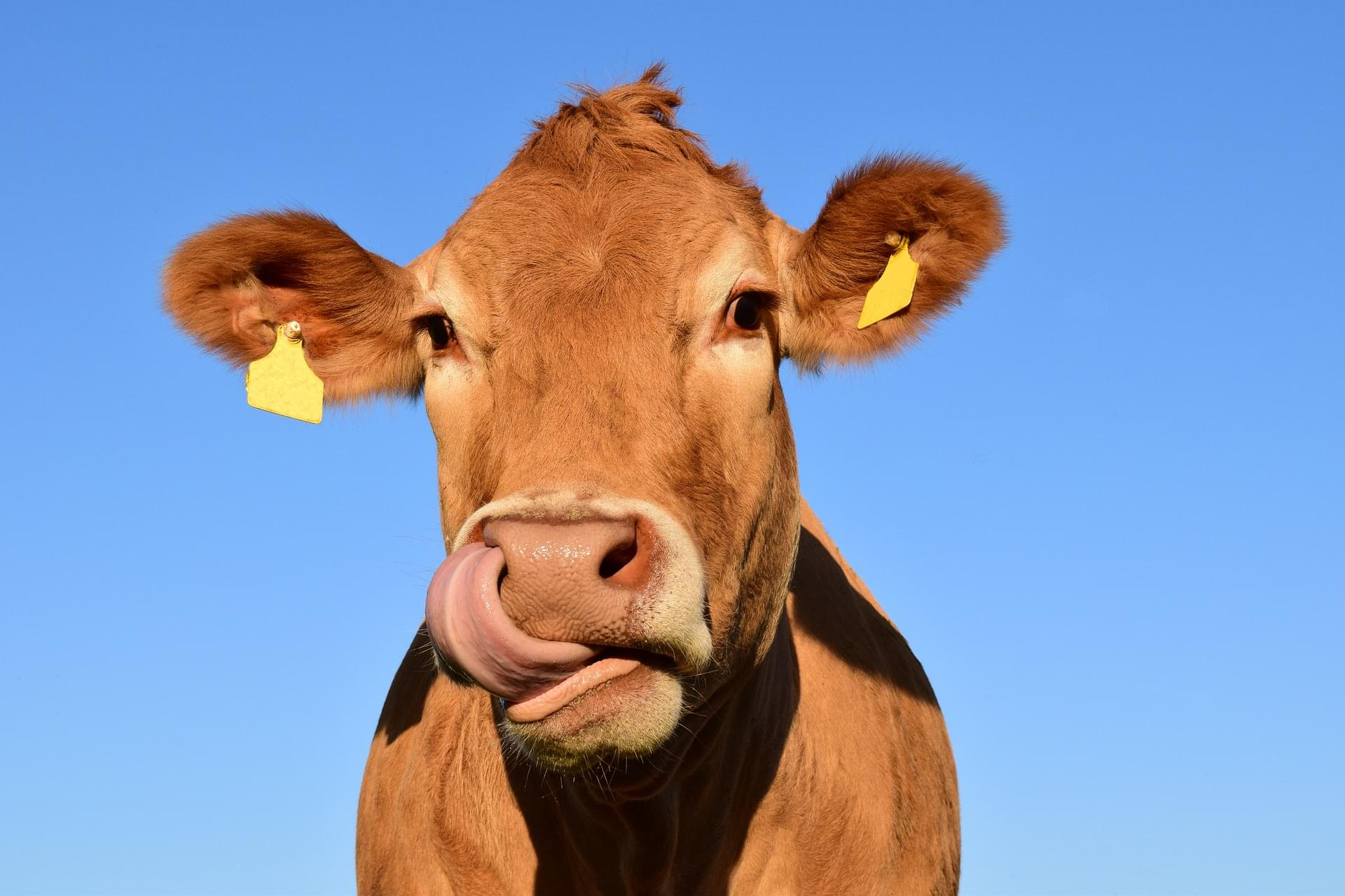 A Woman Coated Her Car in Cow Poop to Keep It Cool
