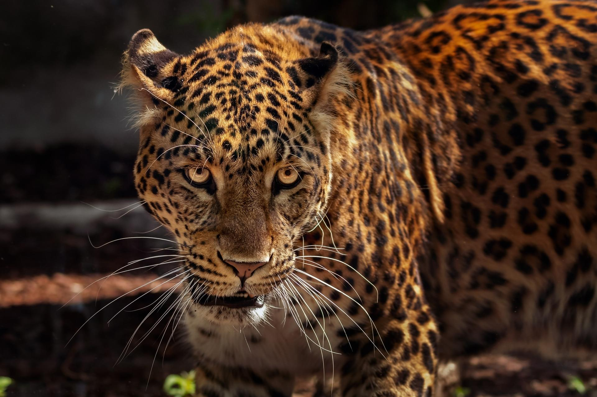 Jaguar Attacks Woman At Arizona Zoo After She Crosses Barrier To Take A Selfie
