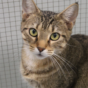 """Angela FAPS-A-4651 Cat - Domestic Shorthair Sex : Female  Age : 2Y / 7M  Weight : 7.80 lbs  Location: Cat Rooms  Hi, I'm Angela.  Likes- Food  Dislikes- Birds  """"They are lousy sky wizards that need to obey gravity"""" - Angela"""