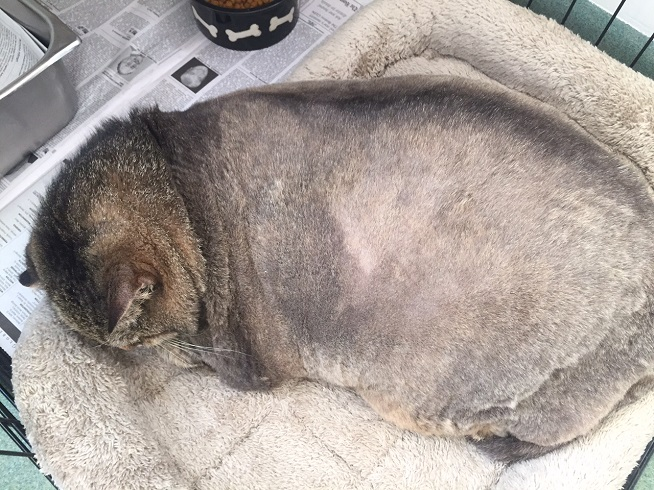 26-pound cat tossed from car, in need of new home