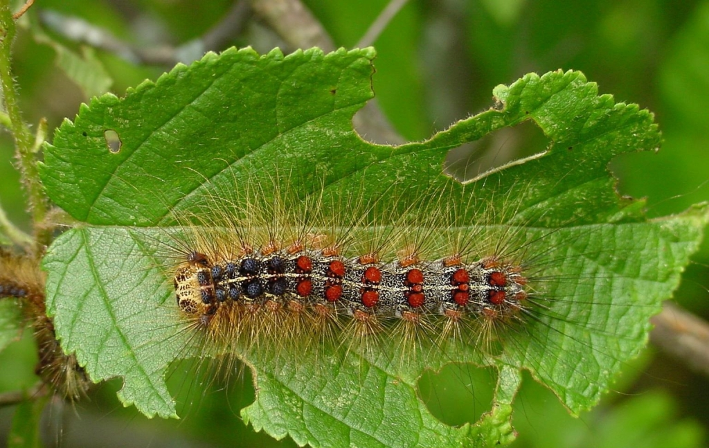Gypsy Moth Caterpillars Causing Rashes On Children Wpro