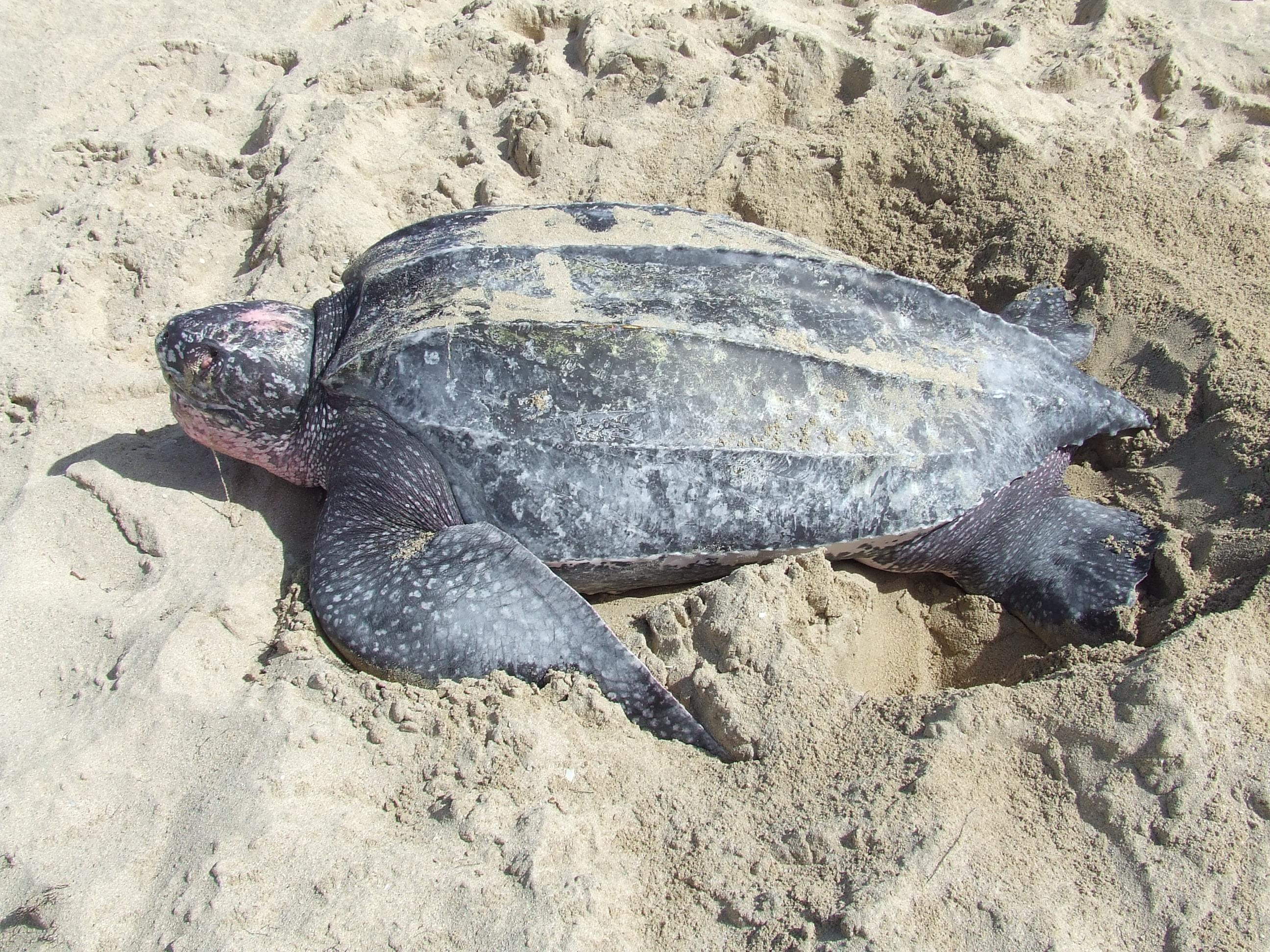 Leatherback turtle rescued off town's beach