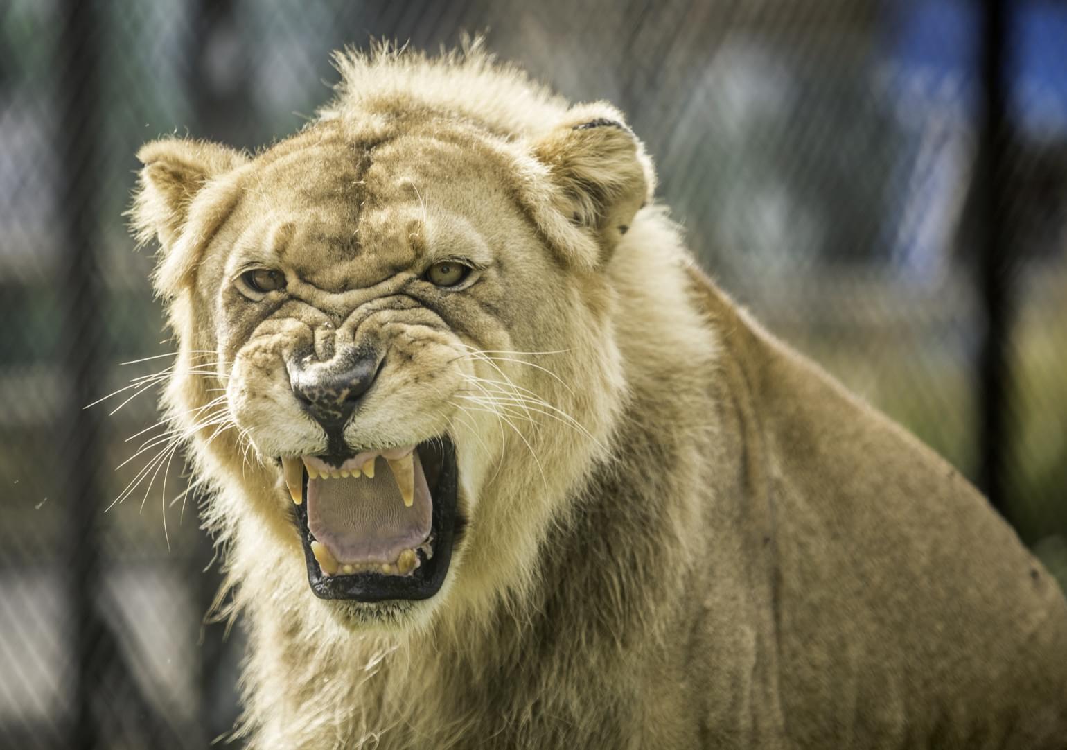 Zoo Knoxville's Matriarch Lion Passed Away